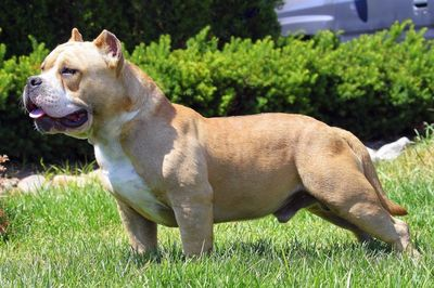 MUSCLETONE BULLYS :: AMERICAN BULLYS KENNEL - BULLY PUPPIES